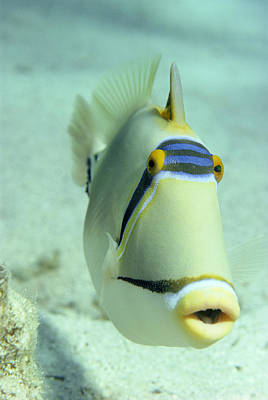 Picasso Triggerfish Print by Georgette Douwma