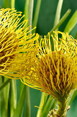 Picture Of A Pincushion Protea Art Print