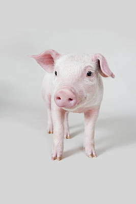 Pink Pigs Photograph - Piglet, Studio Shot by Paul Hudson