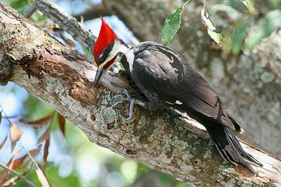 Photograph - Pileated Woodpecker by Ira Runyan