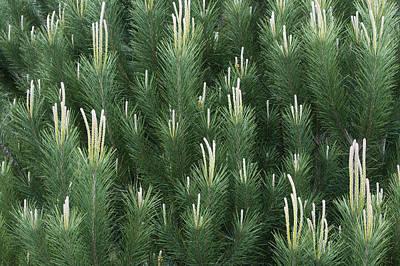 A New Beginning Photograph - Pine Spring Growth Santa Cruz California by Sebastian Kennerknecht