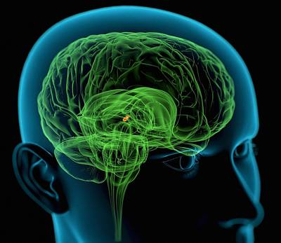 Pineal Gland In The Brain, Artwork Art Print