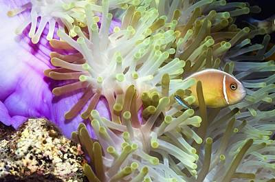 Clown Fish Photograph - Pink Anemonefish Sheltering by Georgette Douwma