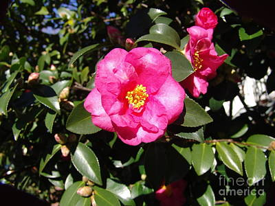 Photograph - Pink Camelia by Rod Ismay