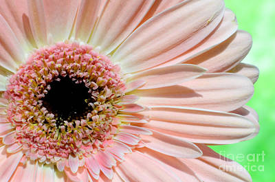 Photograph - Pink Gerbera by Jim and Emily Bush