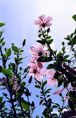 Pink Hibiscus Art Print by Kevin Smith