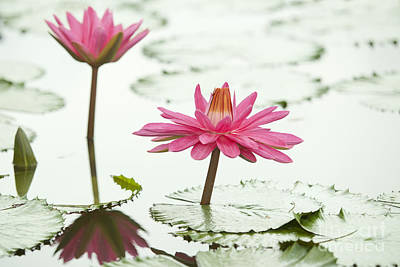 Pink Lotus Original
