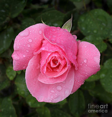 Pink Rose Macro Shot With Rain Drops Art Print