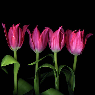 In A Row Photograph - Pink Tulips by Photograph by Magda Indigo