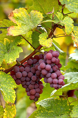 Pinot Noir Grapes Art Print by Jeremy Walker