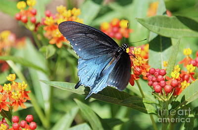 Pipevine Swallowtail  Art Print by Ken Williams