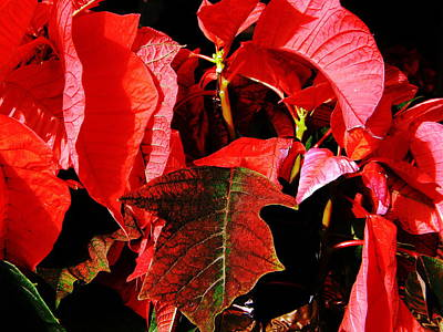 Photograph - Poinsettias by Utopia Concepts