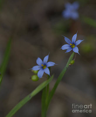 Kitchen Collection - Pointed Blue-eyed Grass by Donna Brown