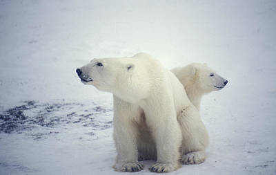 Polar Bear And Cub Art Print by Chris Martin-bahr