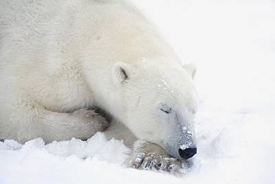 Polar Bear Ursus Maritimus Has His Eyes Art Print by Richard Wear
