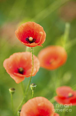 Poppies Print by Andrew  Michael