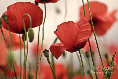 Flora Photograph - Poppy Flowers 04 by Nailia Schwarz
