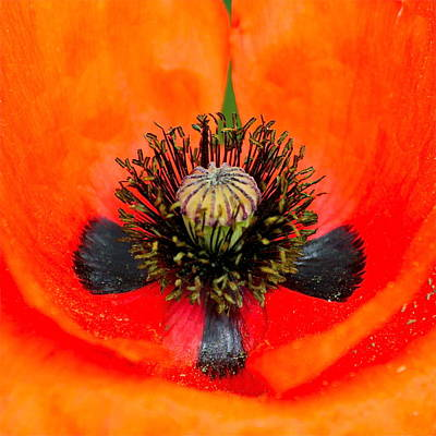 Photograph - Poppy Heart by Karon Melillo DeVega