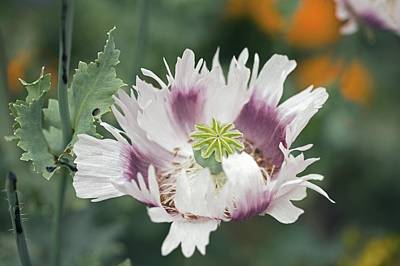 One Single Pink Poppy Flower Photograph - Poppy (papaver Sp.) by Dr Keith Wheeler