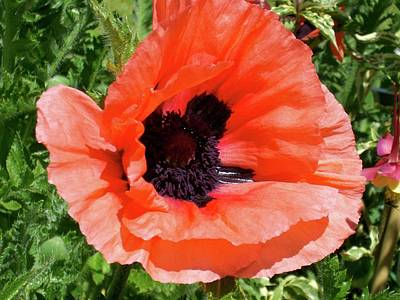 Photograph - Poppy by Quin Sweetman