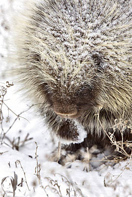 Spiny Digital Art - Porcupine In Winter by Mark Duffy