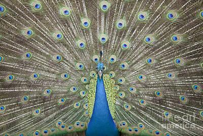 Portrait And Close Up Of Peacock  Original