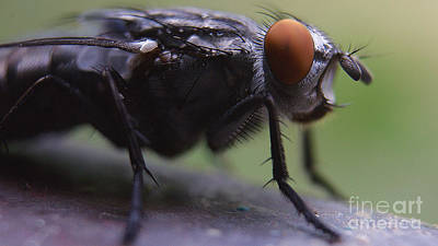 Photograph - Portrait Of A Fly by Mareko Marciniak