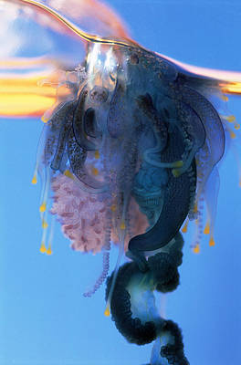 Portuguese Man-of-war Art Print by Georgette Douwma