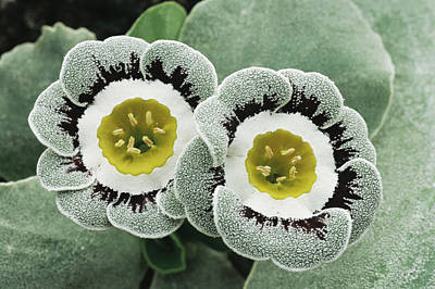 Auricula Photograph - Primula Auricula 'ludlow' by Archie Young
