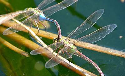 Dragonflies Mating Photograph - Privacy Requested by Fraida Gutovich