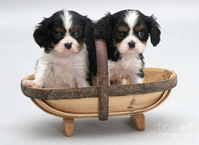 Puppies In A Trug Art Print by Jane Burton