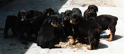 Rottweiler Puppy Drawing - Puppy Chow by Lee McCormick