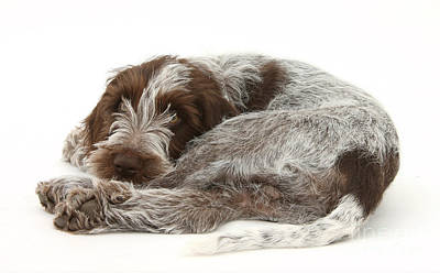 Spinone Photograph - Puppy by Mark Taylor