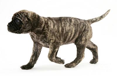 Puppy Trotting Art Print