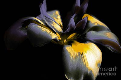 Photograph - Purple Iris by Karen Lewis