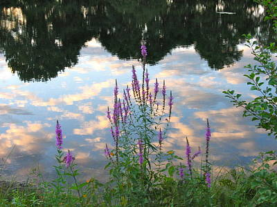 Art Print featuring the photograph Purple Loosestrife by Mary McAvoy