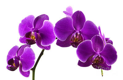 Purple Orchids Art Print by Blink Images