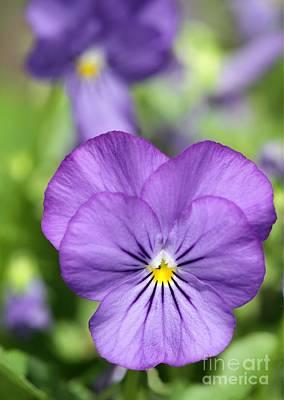 Photograph - Purple Pansy by Sabrina L Ryan