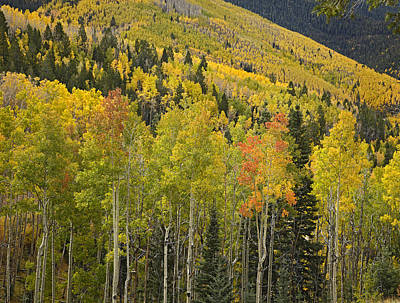 Quaking Aspen Trees In Autumn Santa Fe Art Print by Tim Fitzharris
