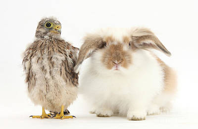 Falcon Photograph - Rabbit And Kestrel Chick by Mark Taylor