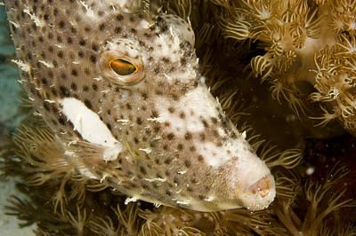Malapascua Island Photograph - Radial Leatherjacket Filefish by Tim Laman