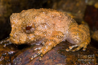 Central American Frogs Photograph - Rain Frog by Dante Fenolio