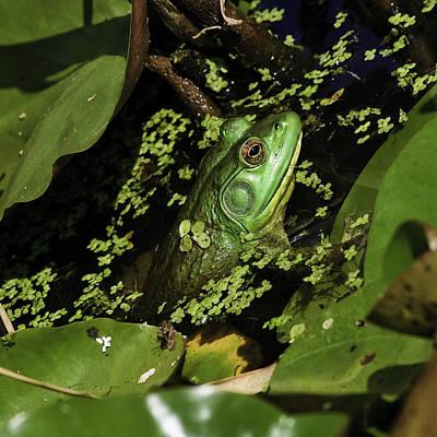 Photograph - Rana Clamitans Or Green Frog by Perla Copernik