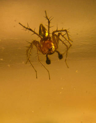 Gaugin Rights Managed Images - Red and gold spider Oxyopes lynx 10 Royalty-Free Image by Douglas Barnett