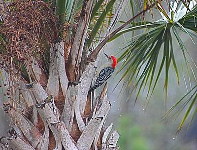 Photograph - Red-bellied Woodpecker In Palmetto Tree by Jeanne Kay Juhos