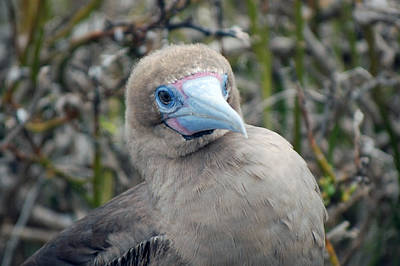 Photograph - Red Footed Booby by Harvey Barrison