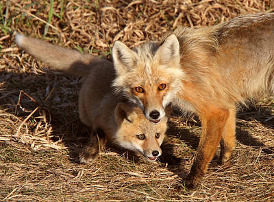 Red Fox Vixen With Pup On Hecla Island In Manitoba Print by Mark Duffy