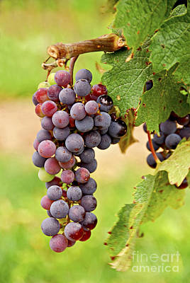 Wine Royalty-Free and Rights-Managed Images - Red grapes by Elena Elisseeva