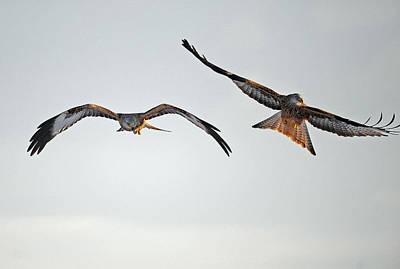 red Kites. Art Print by Andrew Chittock