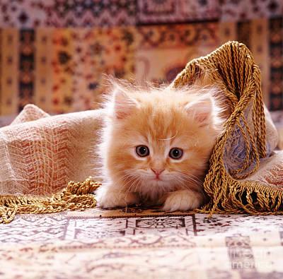 Animal Portraiture Photograph - Red Persian-cross Kitten by Jane Burton